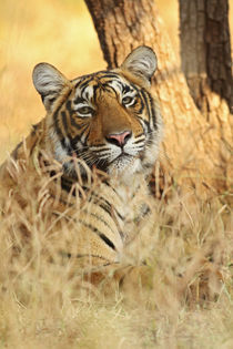 Portrait of Royal Bengal Tiger, Ranthambhor National Park, India. von Danita Delimont