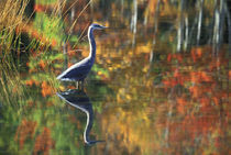 USA,New York,Adirondacks,Great Blue Heron in Fall Reflection. Credit as von Danita Delimont
