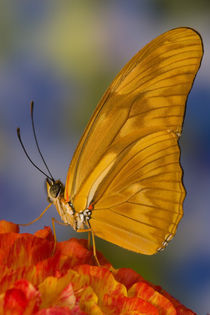Sammamish Washington Tropical Butterflies photograph of Dryas Julia by Danita Delimont