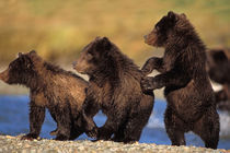 brown bear, Ursus arctos, grizzly bear von Danita Delimont