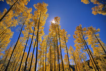 Aspen grove in autumn in the San Juan Range of Colorado by Danita Delimont