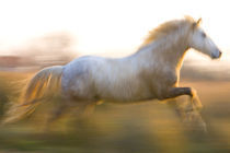 France, Provence. White Camargue horse running. Credit as von Danita Delimont