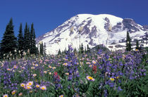 N.A., USA, Washington Mt. Rainier and wildflowers by Danita Delimont