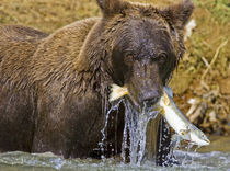 A coastal brown bear fishes, Alaska by Danita Delimont
