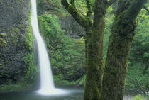 USA, Oregon, Columbia River Gorge, Horsetail Falls. by Danita Delimont