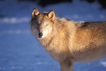 gray wolf, Canis lupus, in the foothills of the Takshanuk mountains von Danita Delimont
