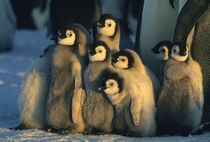 Emperor Penguin chicks in creche, (Aptenodytes forsteri), Weddell Sea by Danita Delimont