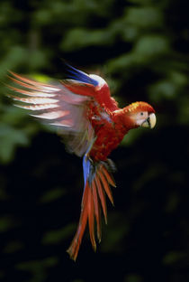 Scarlet macaw juvenile hovering, Ara macao, Tambopata National Reserve, Peru by Danita Delimont