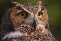 Great Horned Owl by Danita Delimont
