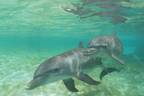 Bottlenose Dolphins (Tursiops truncatus) Caribbean Sea near Roatan, Honduras by Danita Delimont