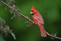 Male Northern Cardinal von Danita Delimont