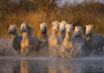 France, Provence. White Camargue horses running through water. Credit as von Danita Delimont