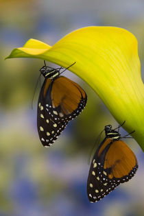 Sammamish, Washington Tropical Butterfly Photograph of a pairof Tithorea von Danita Delimont