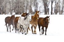 A winter scenic of running horses on The Hideout Ranch in Shell Wyoming. von Danita Delimont