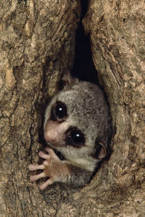 Fat-tailed dwarf lemur in tree hole, Cheirogaleus medius, Madagascar by Danita Delimont