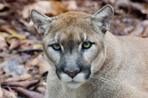 Cougar, mountain lion, Florida panther by Danita Delimont