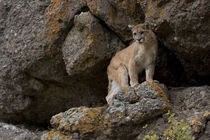 Puma, aka Mountain Lion or Cougar von Danita Delimont