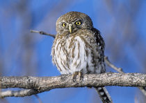 Africa, Zimbabwe. Close-up of pearl spotted owl on branch. Credit as by Danita Delimont