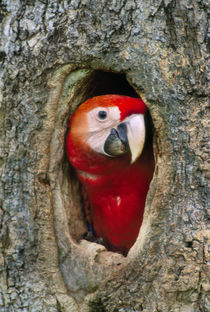 Scarlet macaw in tree nest, Ara macao, Tambopata National Reserve, Peru by Danita Delimont