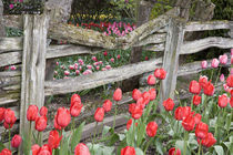WA, Skagit Valley, Roozengaarde Tulip Garden, Tulips and wood fence von Danita Delimont