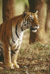 Bengal tiger, Panthera tigris tigris, India by Danita Delimont