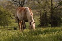 Horse grazing in meadow, Cades Cove von Danita Delimont