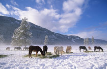 Horses feeding on hay in the winter snow, Methow Valley, Washington State, USA by Danita Delimont