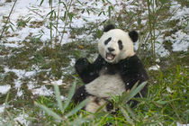Panda eating bamboo on snow, Wolong, Sichuan, China von Danita Delimont
