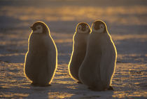 Emperor Penguins, (Aptenodytes forsteri), Chicks at Atka Bay, Antarctica. von Danita Delimont