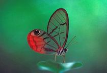 Central America, Panama, Barro Colorado Island. Glasswing butterfly von Danita Delimont