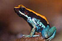 Phyllobates vittatus, a poison arrow frog endemic to Costa Rica von Danita Delimont