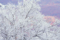 NA, USA, Vermont, near E. Burke Fresh snowfall on birch, Burke Mountain von Danita Delimont