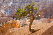 UT, Bryce Canyon National Park, Limber Pine tree by Danita Delimont