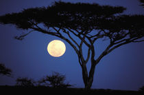 Africa, Tanzania, Tarangire. Acacia tree in moonlight by Danita Delimont