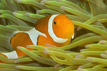 False Clown Anemonefish (Amphiprion ocellaris). New Guinea by Danita Delimont
