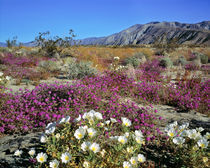 USA, California, Anza-Borrego DSP by Danita Delimont