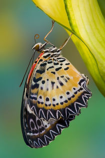 Sammamish Washington Tropical Butterflies photograph of Leopard Butterfly by Danita Delimont