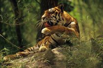 Bengal tiger licking paw, Panthera tigris tigris, Western Ghats, India by Danita Delimont