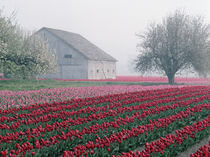 Red and pink tulips greet the day on a misty April morning in the Skagit Valley von Danita Delimont