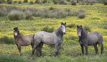 In Western Ireland, three horses with long manes by Danita Delimont
