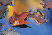 USA,Northeast,Maple Leaf in Reflection Floating Down Stream. Credit as von Danita Delimont