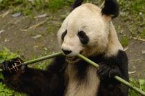 Giant panda (Ailuropoda melanoleuca) Family by Danita Delimont