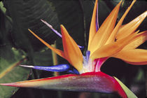 N.A., USA, Maui, Hawaii.  Bird of Paradise plant. von Danita Delimont