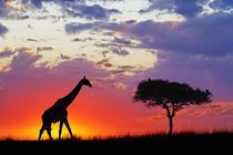 Giraffe silhouetted at sunrise von Danita Delimont