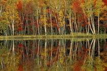 Fall Foliage and Birch Reflections, Council Lake, MICHIGAN von Danita Delimont