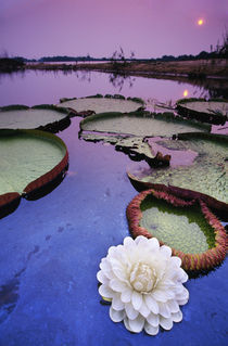 Giant water lily, Victoria regia, Paraguay River, Pantanal, Brazil by Danita Delimont