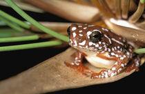 Africa, Botswana, Okavango Delta. Painted Reed Frog (Hyperolius marmoratus) von Danita Delimont
