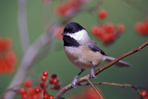 Carolina Chickadee by Danita Delimont