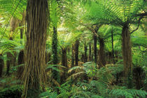 Katote tree ferns, Westland National Park, New Zealand von Danita Delimont