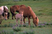 Asia, Mongolia, Gobi Desert. Wild Horses von Danita Delimont